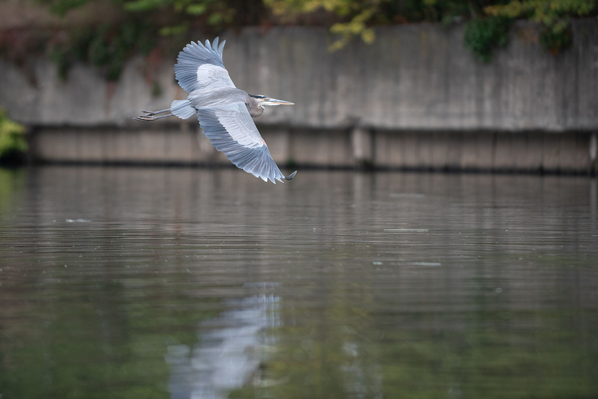 A great blue heron flies over the Chicago River.