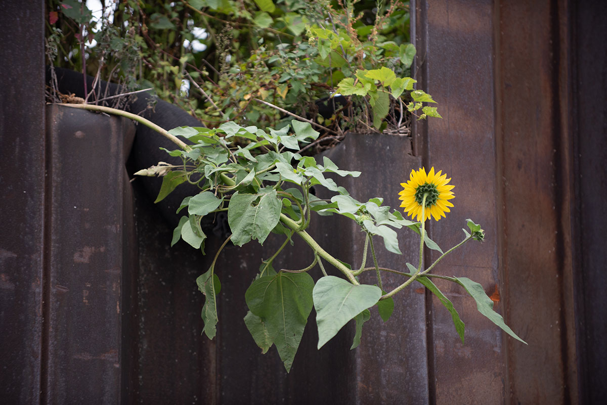 A sunflower grows on an industrial segment of the Chicago River.