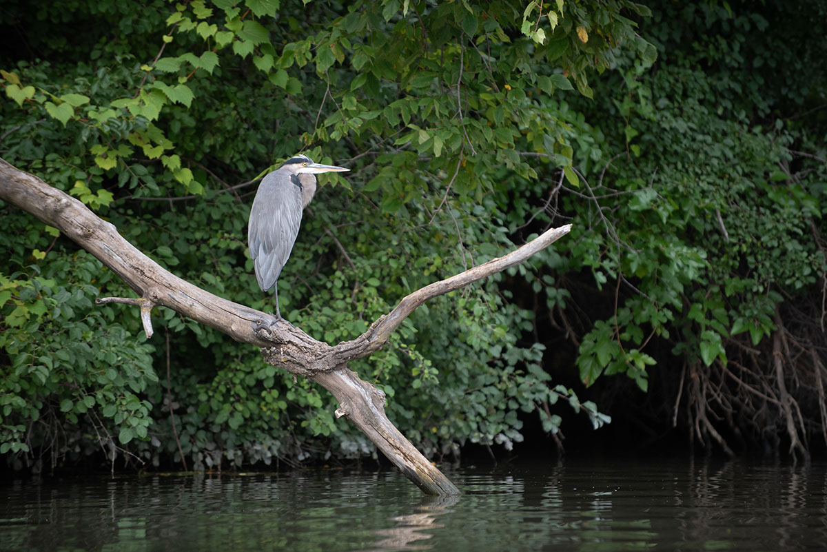 A great blue heron sits on a branch along the Chicago River.