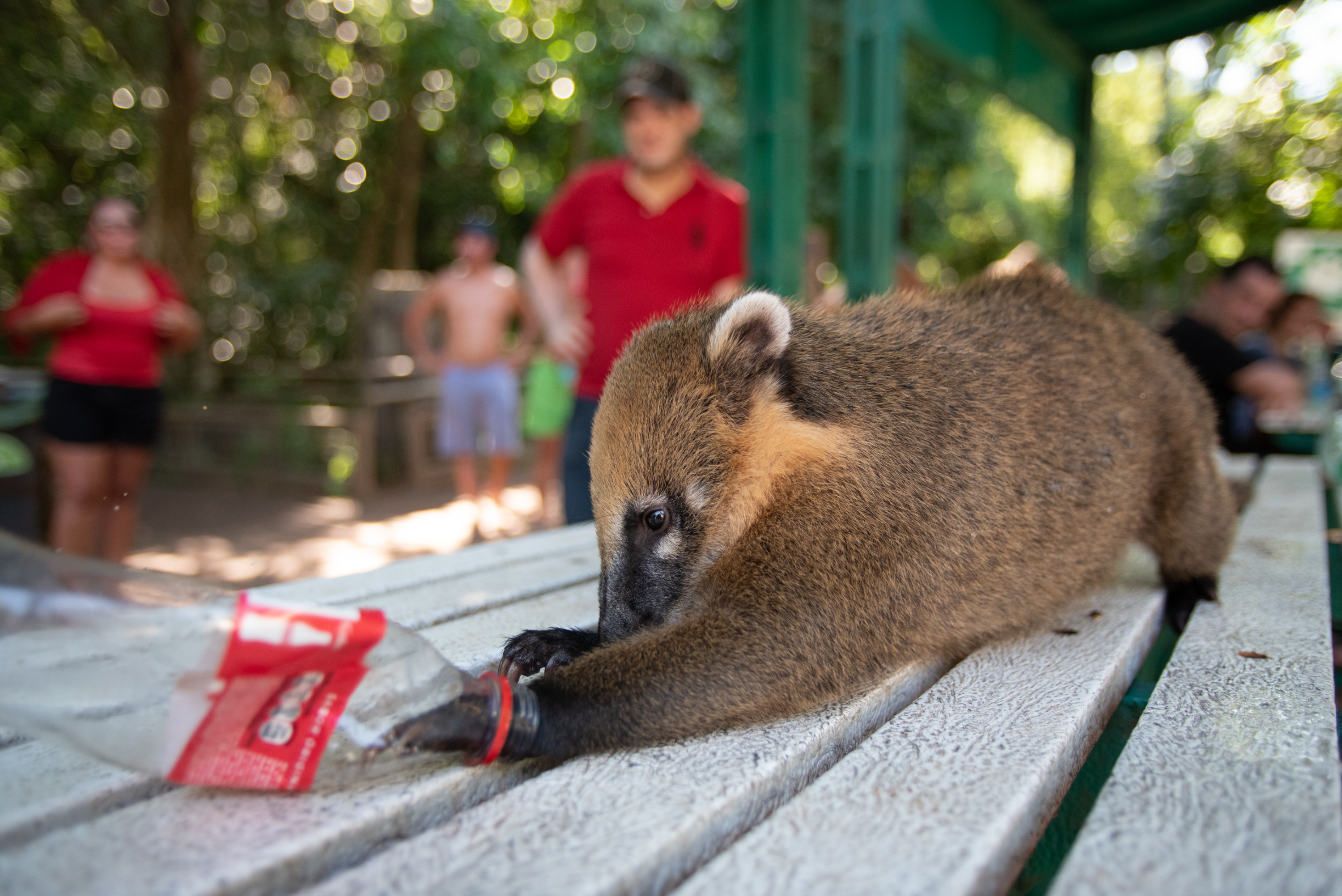 A coatí reaches its paw into an empty Coca-Cola bottle at a table in Iguazú National Park.