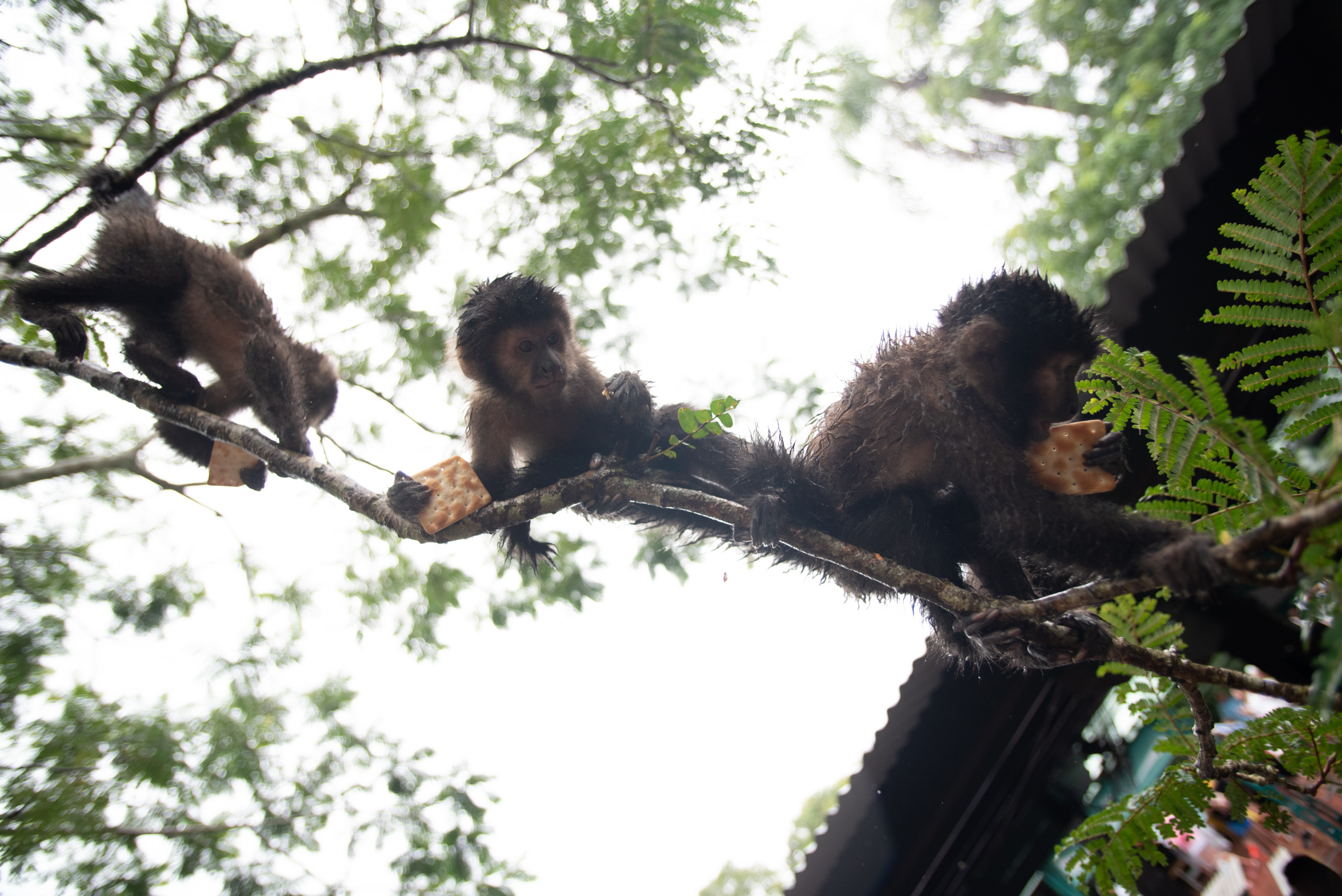 A trio of monkeys dangling in a tree enjoy crackers that were fed to them by tourists in Iguazú National Park.