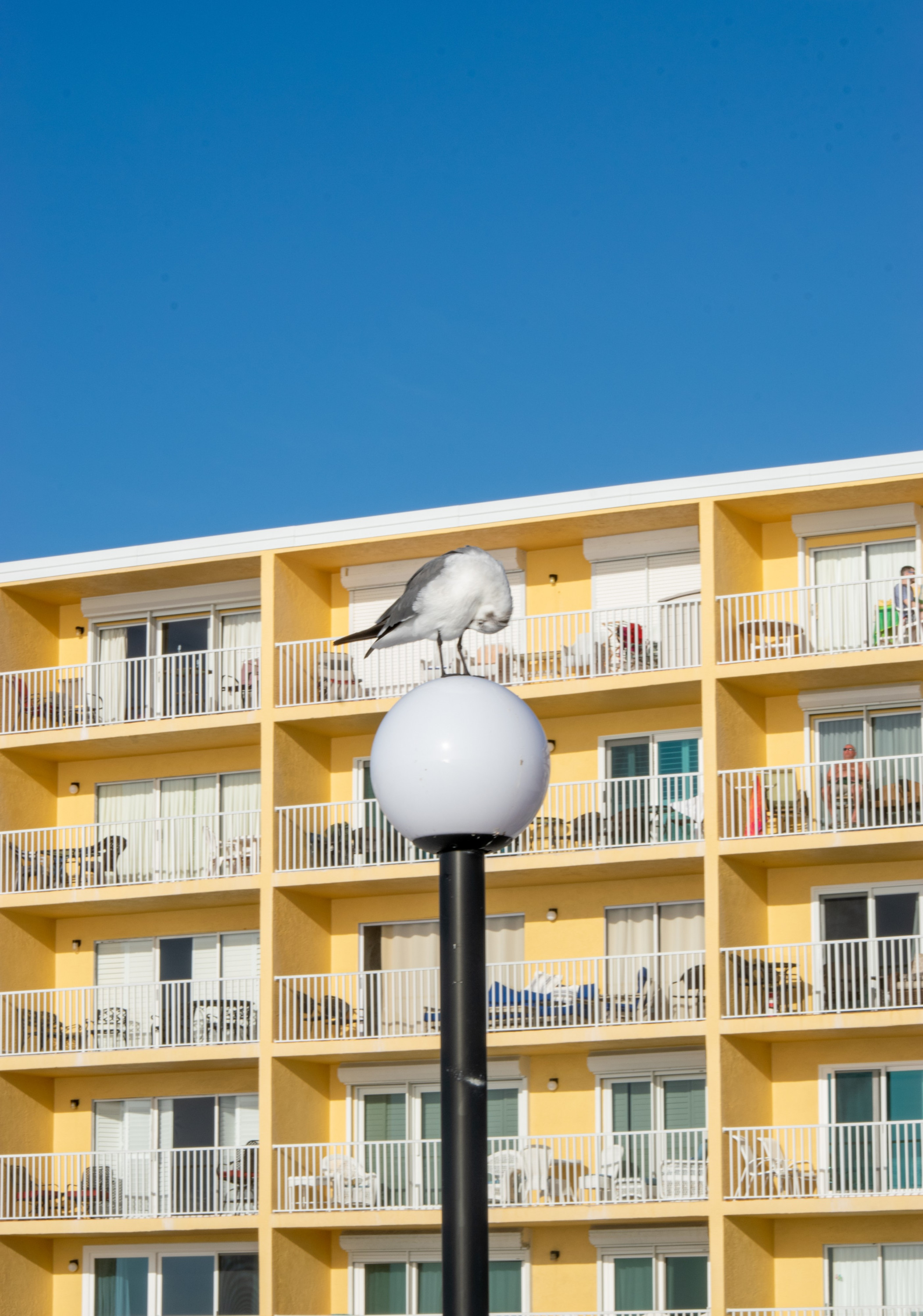 A seagull preens itself on the top of a light pole outside sunny condos next door to the Seaside Seabird Sanctuary.