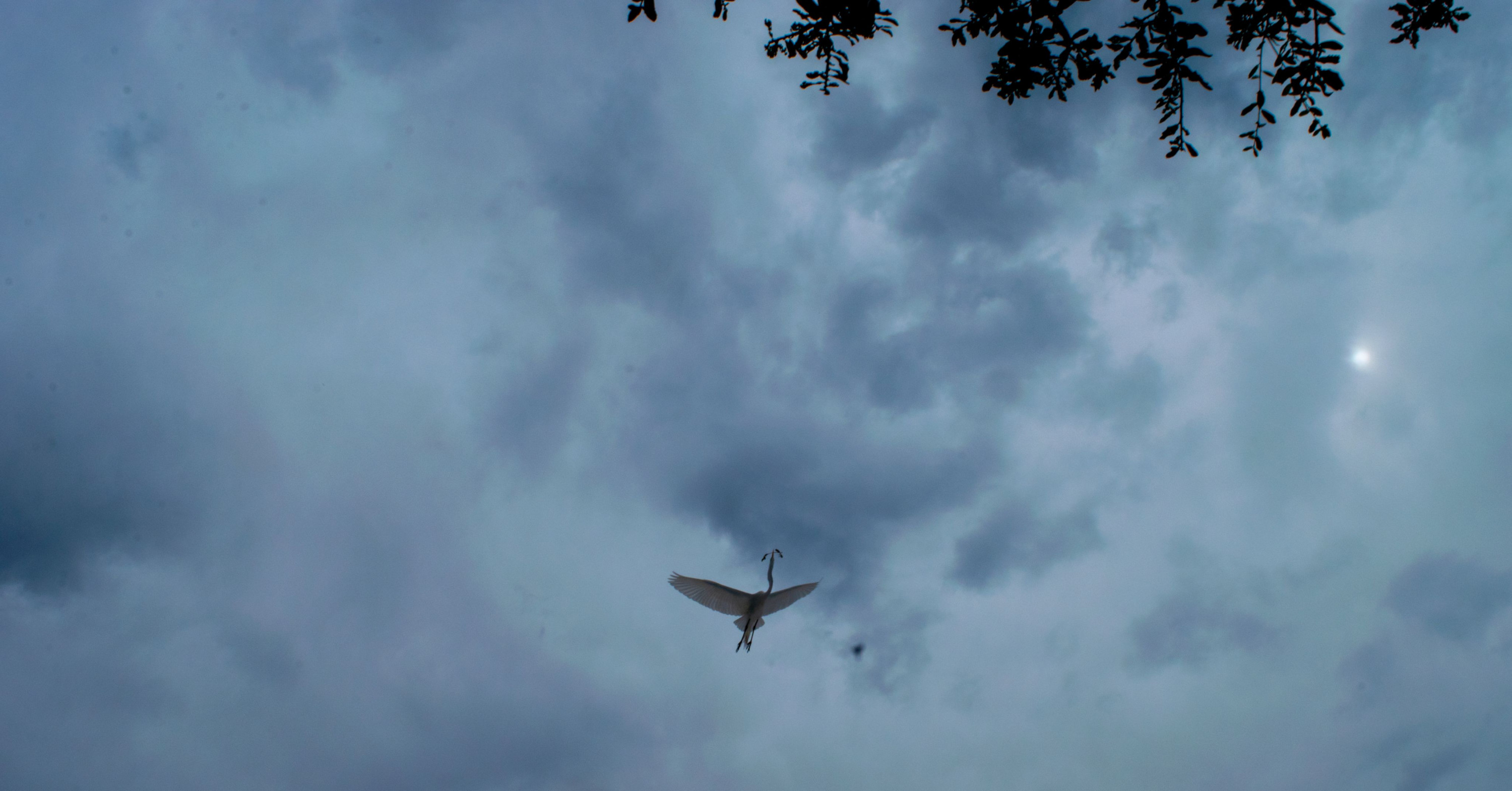 An egret soars through cloud strewn skies carrying a branch.