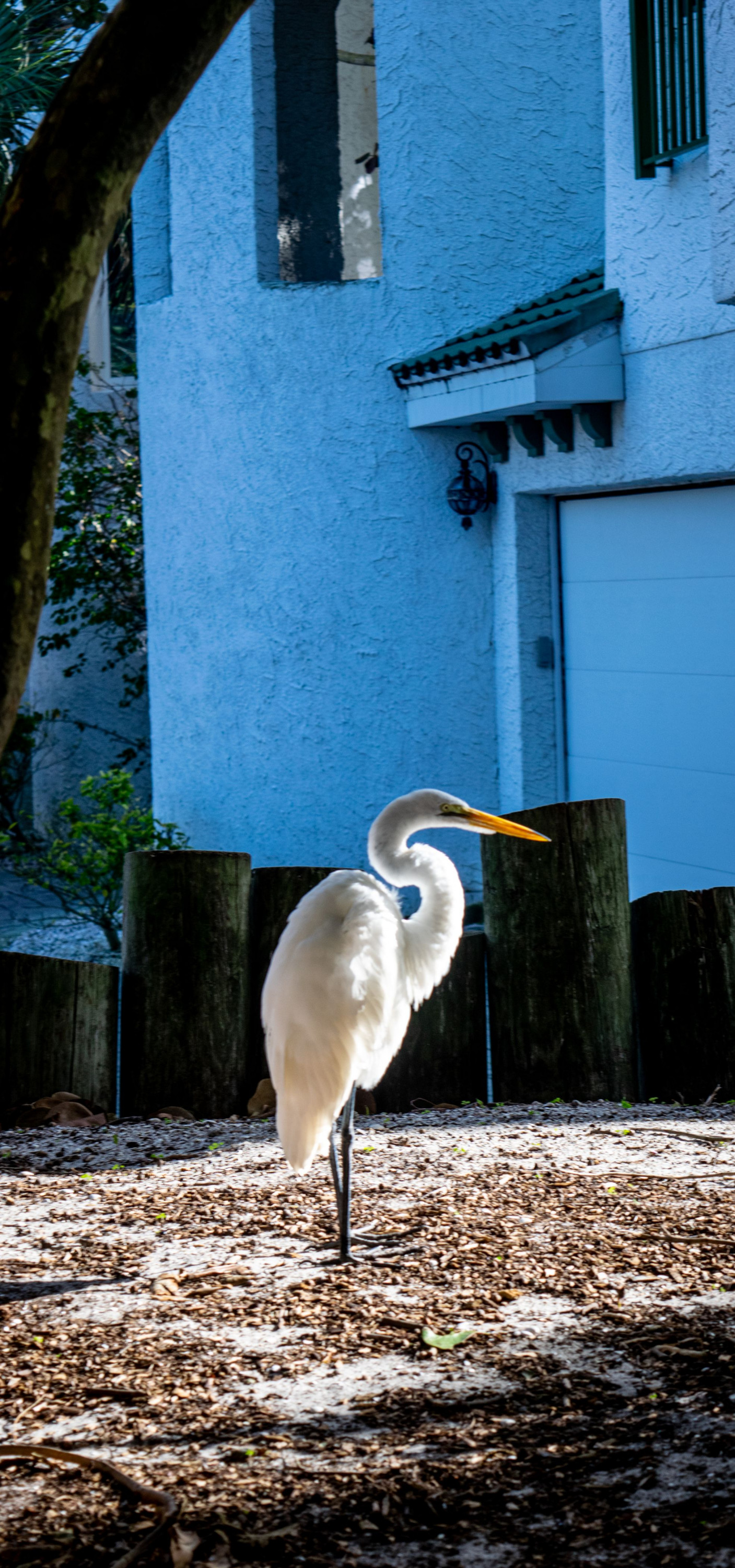 An egret is illuminated by the afternoon sun on its way to the beach in front of the Sanctuary.