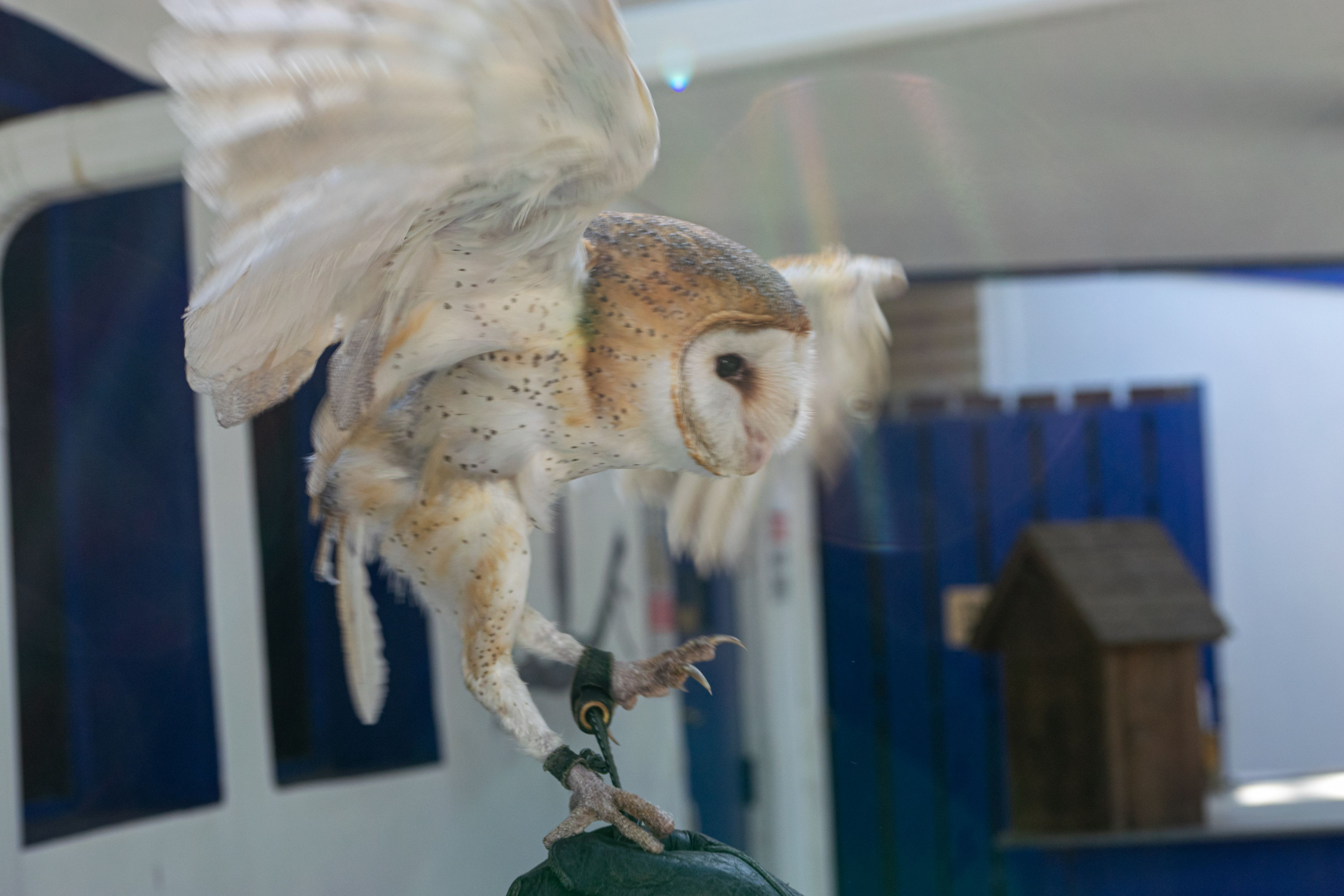 The owl flaps her wings. Sometimes owls become startled and instinctually try to fly away from their handlers.