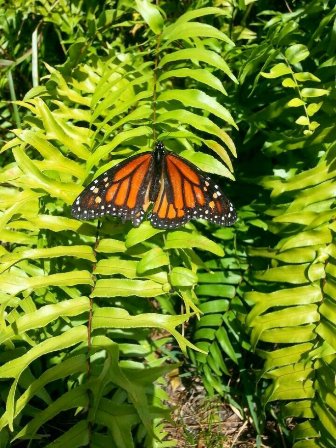 Monarch Butterfly, safe and sound in the garden