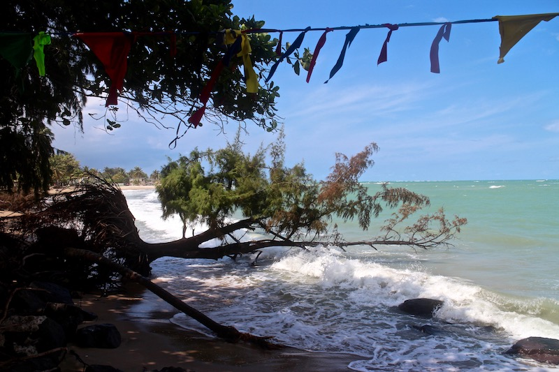 A 40-year-old tree was lost to coastal erosion in Loiza, evidence of a wider beach in years past. (Janice Cantieri/MEDILL)