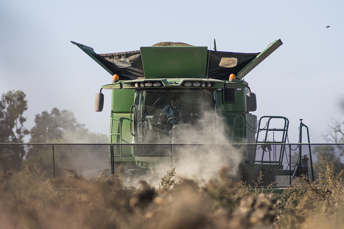 A combine runs over the Schreiner sunflower field to harvest the seeds. The remaining material from the plants will later be reworked in to field to help fertilize the next crop.