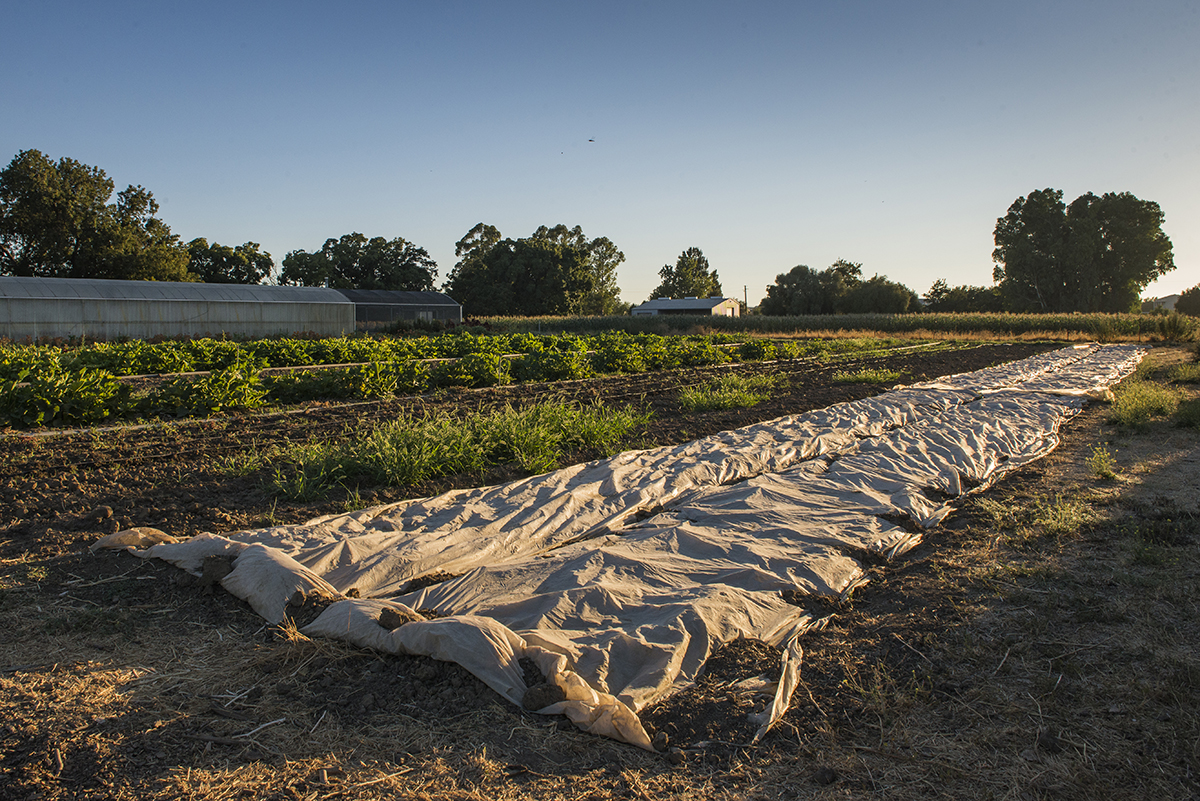 Some rows in the Market Garden are covered in plastic to help kill weeds, a practice common on small organic farms. Others use pesticides that have been certified organic.