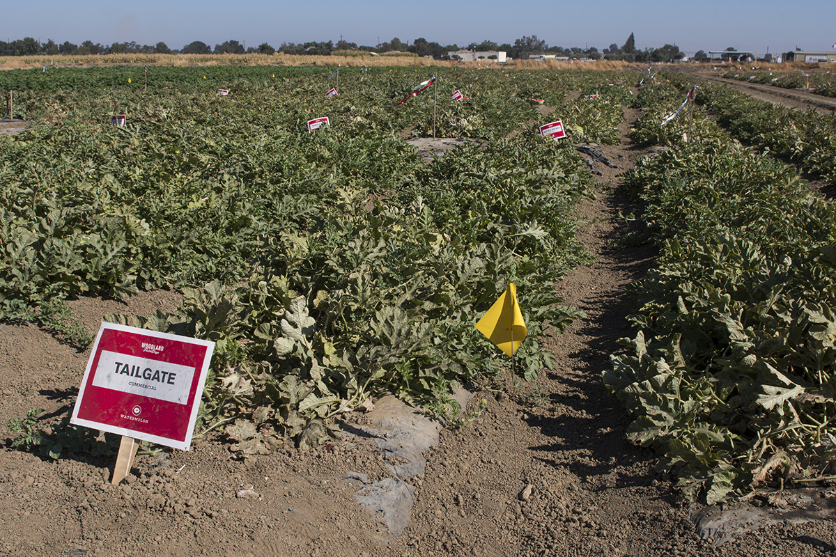 Rows of experimental and commercially available hybrid watermelons make up this Bayer research field. Both seeded and seedless watermelons are bred primarily to cater to the tastes of different regions.