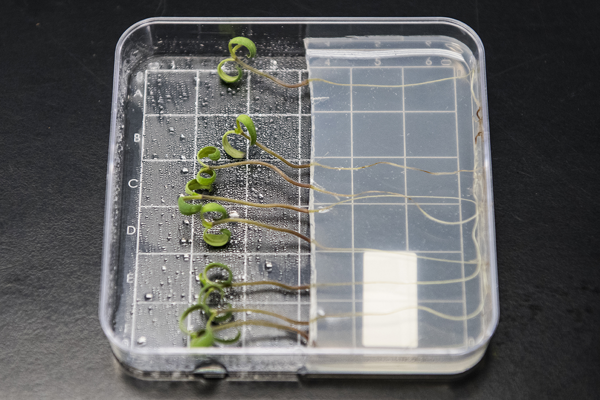 The Bayer pathology lab in Woodland develops resistance in plants to environmental pathogens, such as bacteria, viruses, and fungus. Here is an example of the lab's work with an in vitro assay on young tomato plants for Fusarium crown rot resistance.