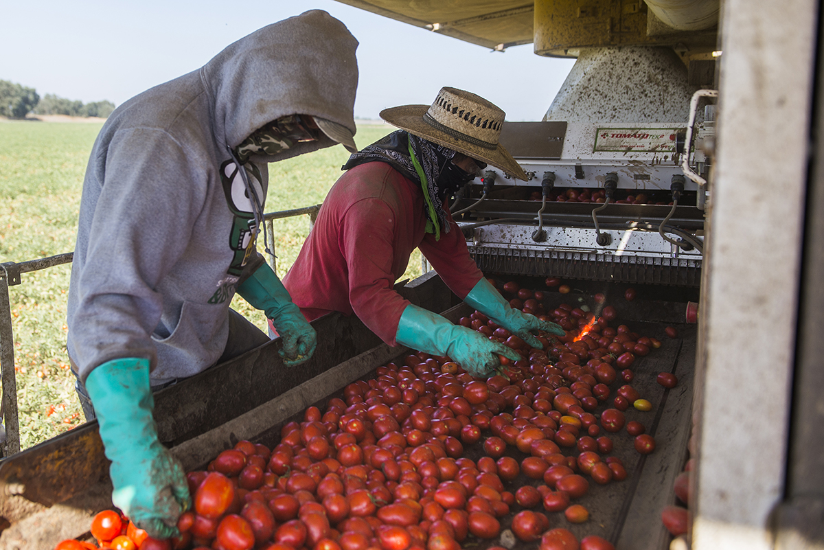 Schreiner Farms employees sort tomatoes on the harvester before they are loaded into the trailer.