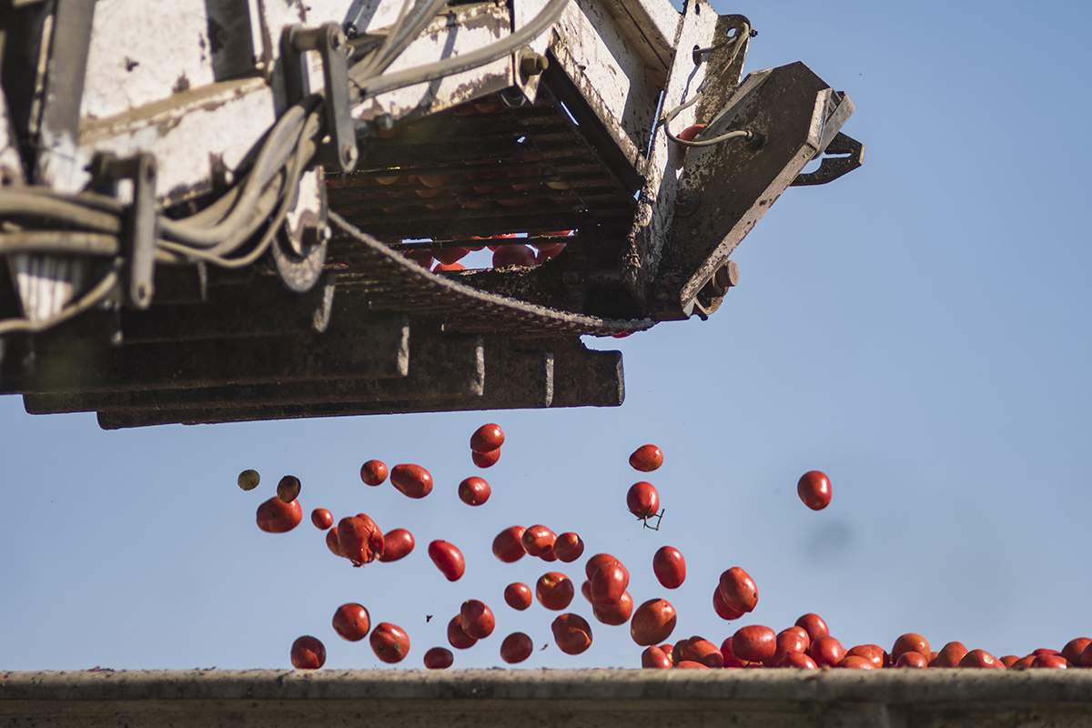 Tomatoes are loaded onto the trailer from the harvester by a conveyor.