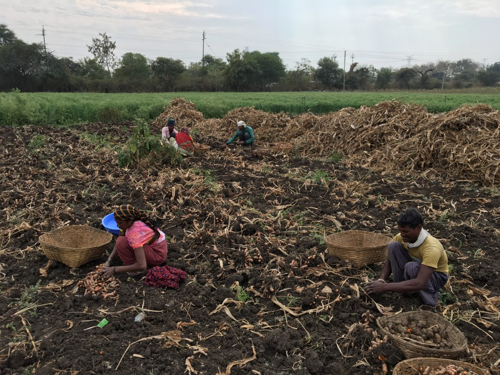 Turmeric harvesting in the village of Waigao, India. (Tavish Fenbert)