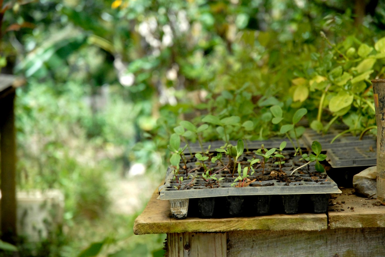 A wide variety of edible plants grow throughout Kalu Yala, especially within the expanding farm.
