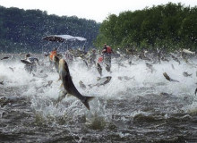 Asian carp near Lake Michigan
