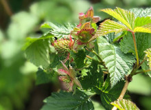Green raspberries on a plant