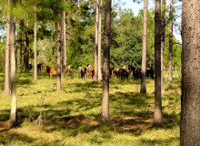 A herd of tawny brown cattle graze in silvopasture amongst trees spaced several feet apart.