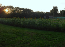 sunflower bed in a field at sunrise