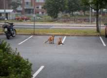 Two red foxes look at the camera from where they rest on a concrete parking lot.