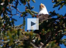 Bald Eagles: Redemption and Recovery