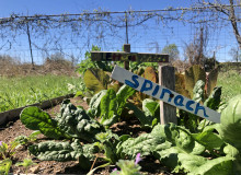 Spinach plant with a wooden sign post labeling the crop with blue paint.