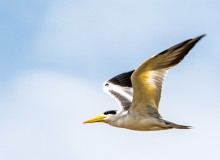 Large-billed tern sounds