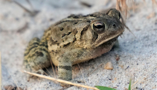 A Fowler's toad resting on beach sand.