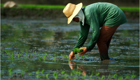 Supporting local agriculture - a farmer transplants rice