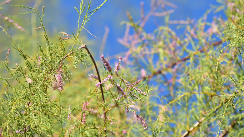 Buds on tamarisk trees
