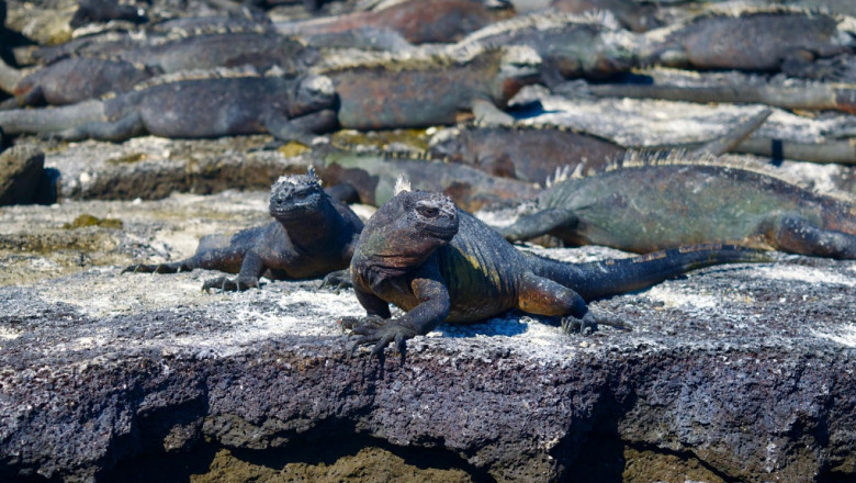 marine iguanas in the Galápagos