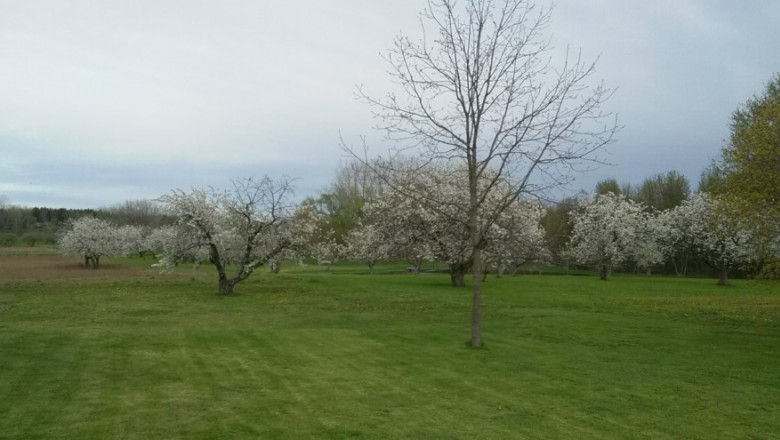 An image of a cherry orchard filled with white blossoms.