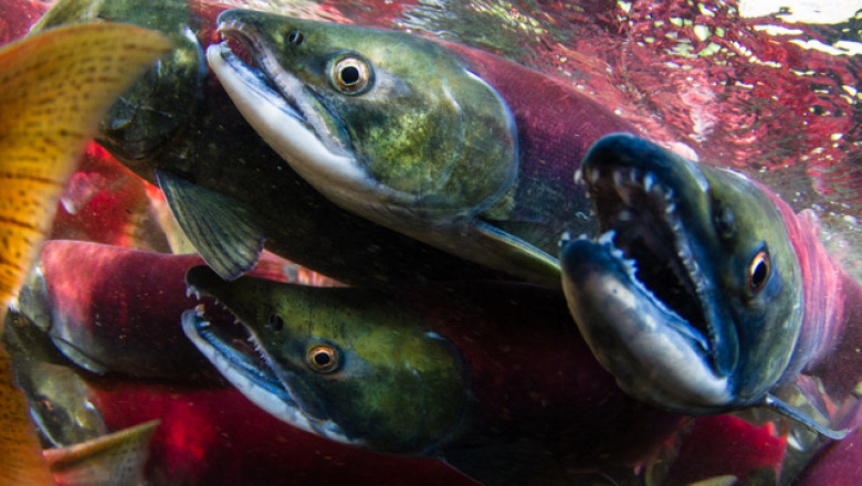 Three green and blue-faced salmon are shown close to the camera whilst swimming through clear water.