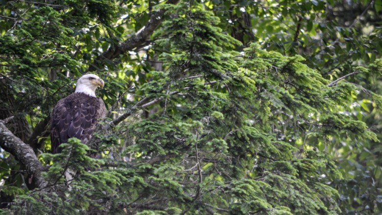 A mature bald eagle along the Chemung River near Big Flats, N.Y. In recent years a pair has been nesting upstream of here in a massive nest tucked against a towering white pine with some of the best views around of the river. (Carrick Palmer/SUNY-ESF)