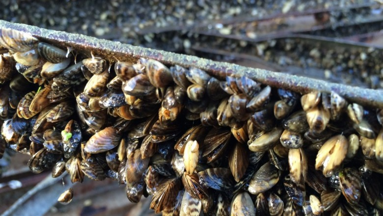 Zebra mussels encrust sections of the UW sailing pier pulled out of the water in fall, 2016. Since then the invasion has only gotten worse. (Adam Hinterthuer/UW Center for Limnology)