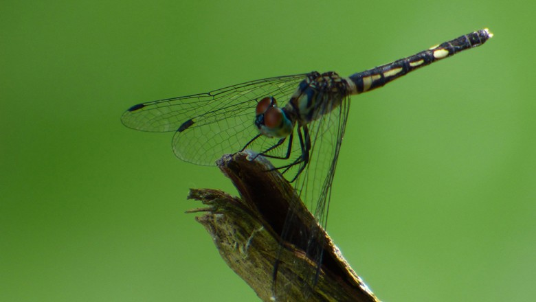 A dragonfly seen near the water lilies. (Amit Ronen)