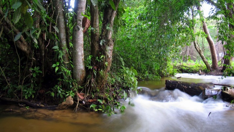 Calm in the rainforest is a relative term. The forest wakes to a cacophony of sound every morning. (TomaszB. Falkowski/SUNY-ESF)