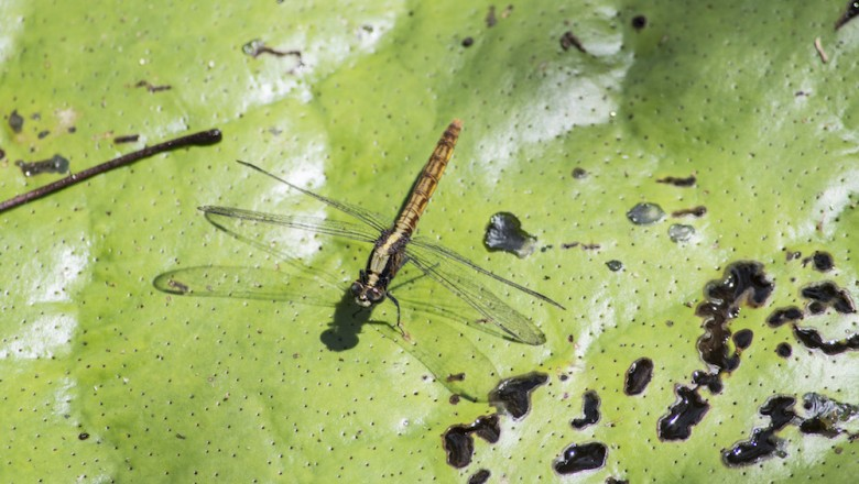 Odonates, the broad family consisting of dragonflies and damselflies, can be seen everywhere in the Amazon (Odonates information courtesy of the Smithsonian).