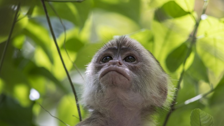 A curious primate looks up through the leaves.