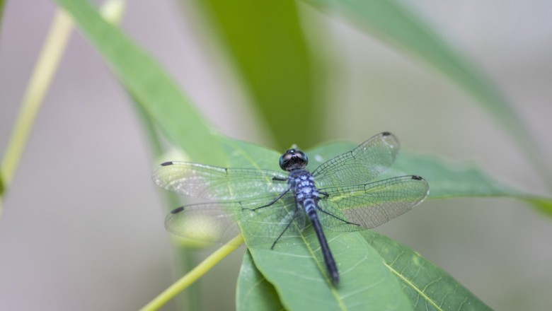 "Odonata means ""toothed one"" in Greek, and refers to the carnivorous species' serrated teeth."