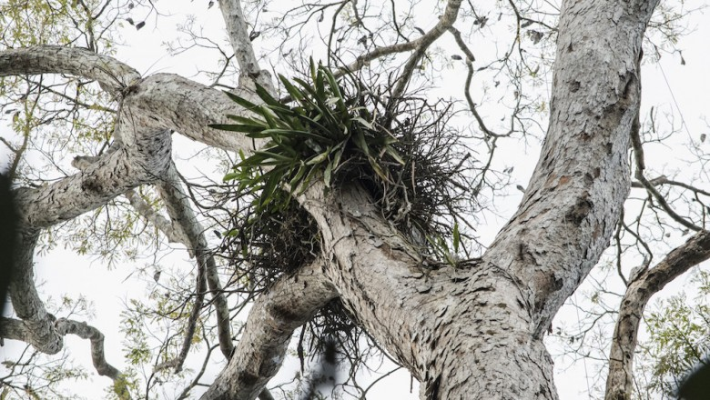 Harpy eagles nest high in the tree tops. The elusive birds are among the world's largest and most powerful eagles.