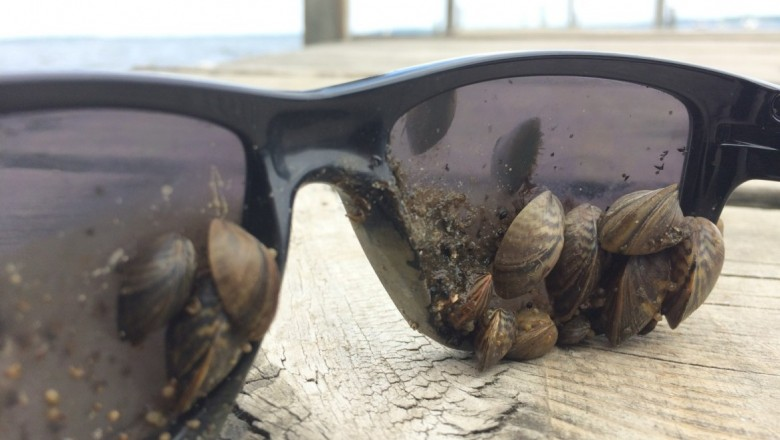 Zebra mussels are quick to claim their prey: anything on the lake-bottom. (Adam Hinterthuer/UW Center for Limnology)