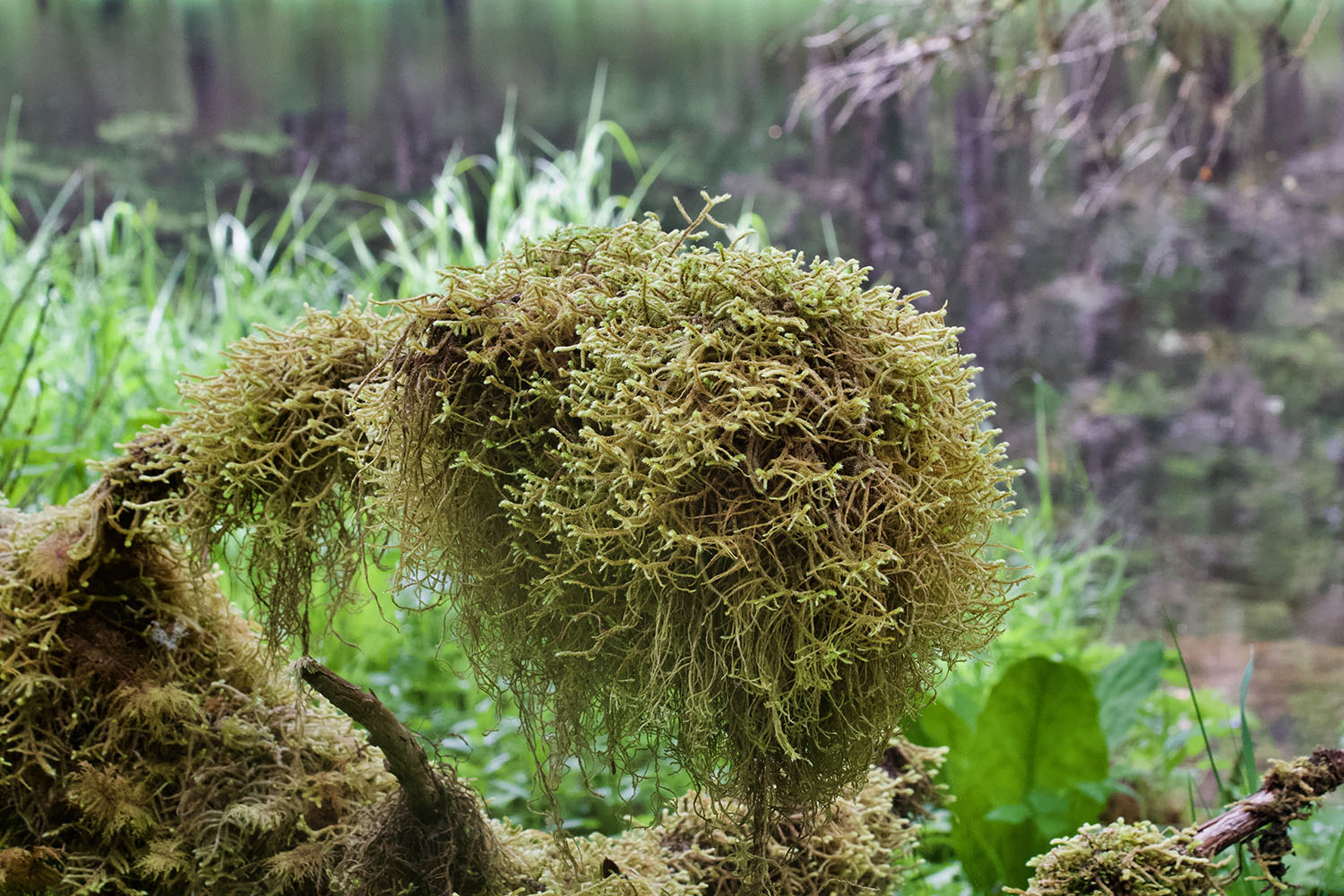 Moss in Alaskan rainforest