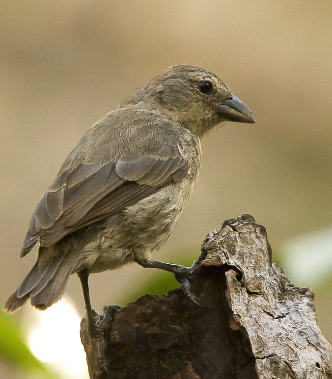 The critically endangered mangrove finch