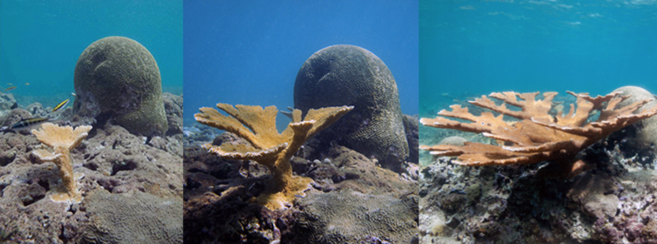 three images comparing coral growth