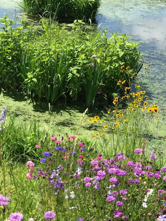 Wetland vegetation and wild flowers. (D. McGrath, 2017)